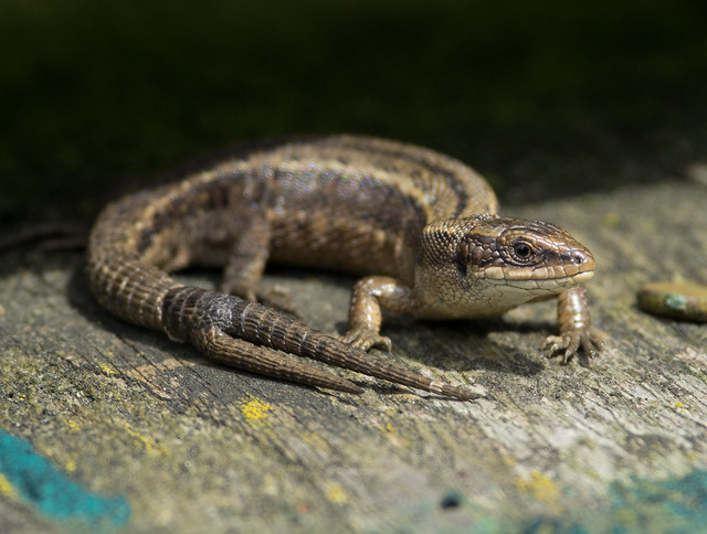 2 tailed common lizard 2