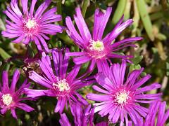 dorotheanthus bellidiformis(0.0), karkalla(0.0), annual plant(1.0), flower(1.0), plant(1.0), macro photography(1.0), flora(1.0), ice plant(1.0), petal(1.0),