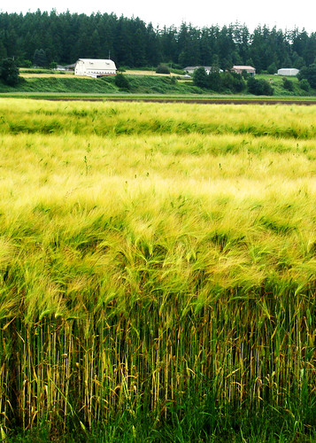 6-19-12 Waving Wheat by roswellsgirl