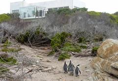 Stony Point Penguin Colony - Betty's Bay, South Africa