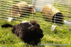 "Bobby the cat ""guarding"" the Guinea Pigs"