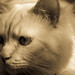 My Birman Arjuna by DiDaDoDeborah