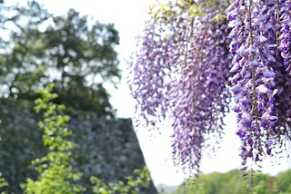 Japanese wisteria with Nagoya castle No.2.