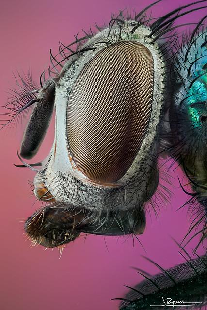cabeza de mosca verde