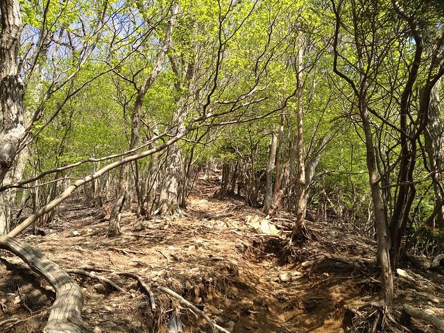 錫杖ヶ岳 加太コース 新緑の登山道