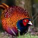 IMG_7225-Pheasant by duncancooke.happydayz