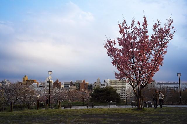 高台の一本桜