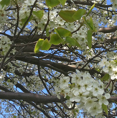Under White Blossoms by randubnick