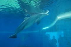 animal, marine mammal, common bottlenose dolphin, marine biology, short-beaked common dolphin, dolphin, spinner dolphin,