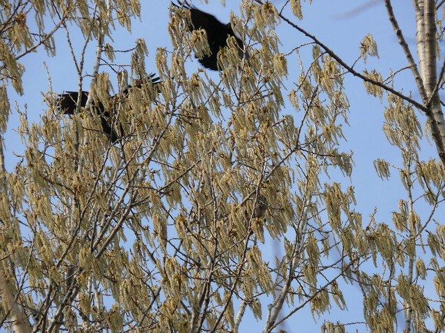 Great Horned Owl and Crows