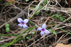 Least Bluet, Houstonia pusilla