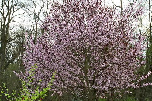 spring blossoms vii