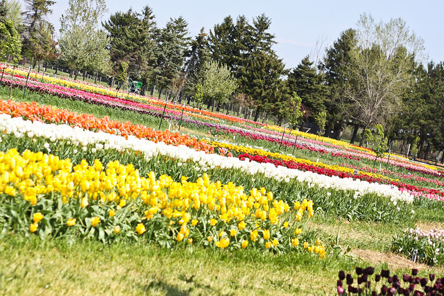 tulips_-9