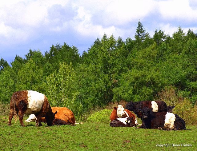 Belted Galloway Cattle http://www.flickr.com/photos/brizo_the_scot/7161196166/