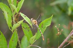 nectar(0.0), grasshopper(0.0), arthropod(1.0), animal(1.0), damselfly(1.0), dragonfly(1.0), dragonflies and damseflies(1.0), flower(1.0), leaf(1.0), nature(1.0), invertebrate(1.0), macro photography(1.0), green(1.0), fauna(1.0), close-up(1.0), wildlife(1.0),