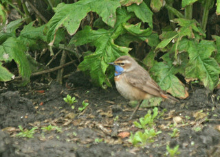 Red-spotted Bluethroat adult male, Hartlepool Headland