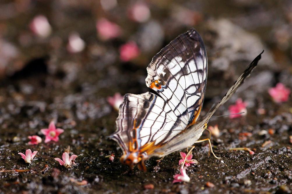 石牆蝶 (3)