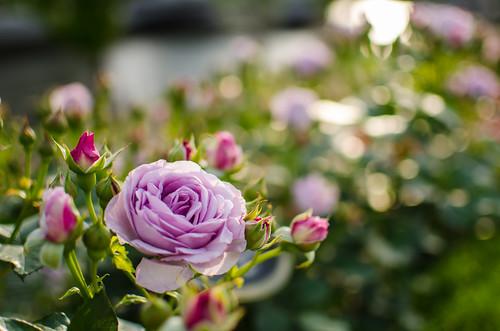 Roses at Nakanoshima Rose Garden by hyossie