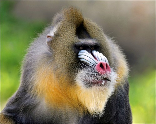 Portrait of a Mandrill with beady little eyes!  (Explored)