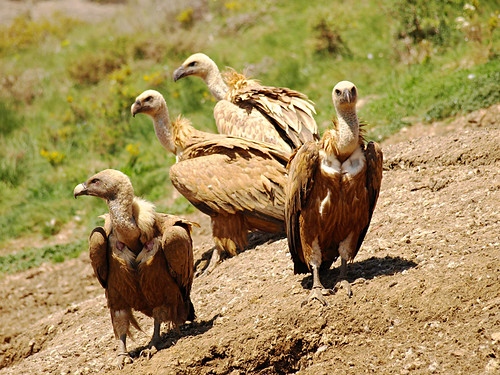 photo of vultures in the Pyrenees in Catalonia