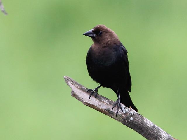 Brown-headed Cowbird 20120521