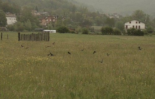 rondini in caccia...  /  The swallows in hunting ...