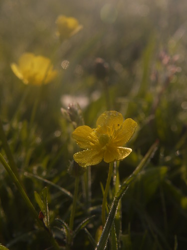 Early Morning Buttercup