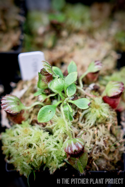 Cephalotus follicularis cuttings