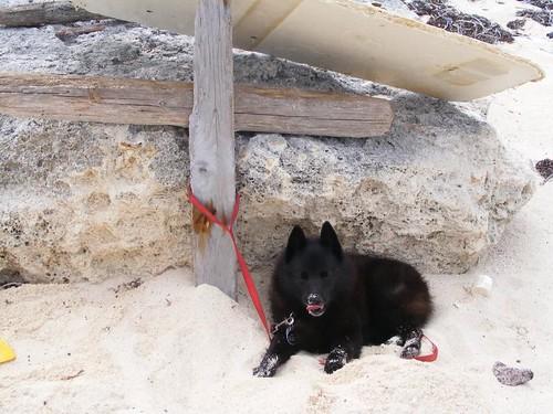 Cabana dog