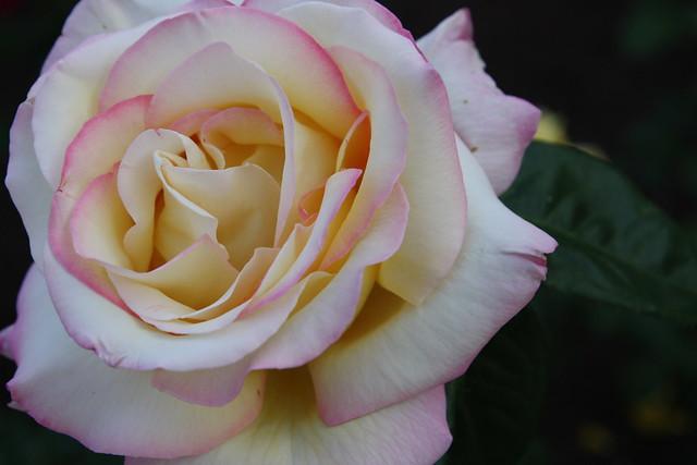 rosa blanca con bordes rosas y corazón amarillo