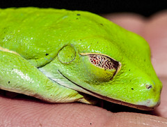western green mamba(0.0), tree frog(0.0), mamba(0.0), dactyloidae(0.0), animal(1.0), amphibian(1.0), reptile(1.0), organism(1.0), macro photography(1.0), green(1.0), fauna(1.0), close-up(1.0), ranidae(1.0),