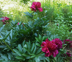 Amazing Peonies at Long Hill by randubnick