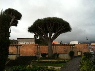 Dragon Tree, La Orotava