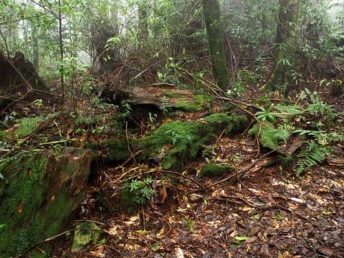 迷霧森林中的枯倒木