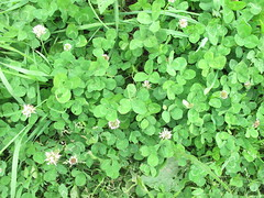 annual plant, flower, clover, plant, herb, groundcover,