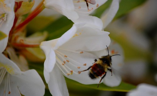 Bee on Rhody