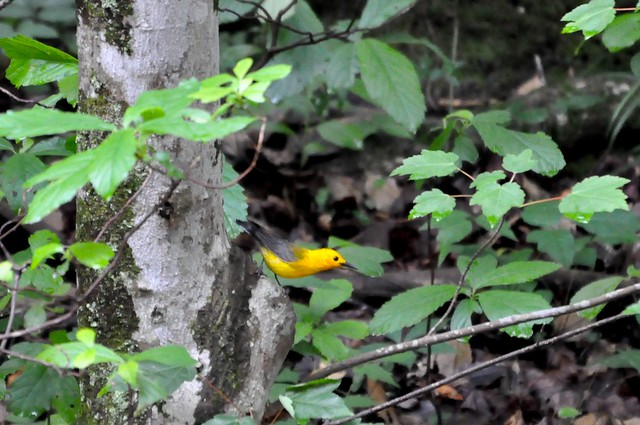 Prothonotary Warbler at the nest