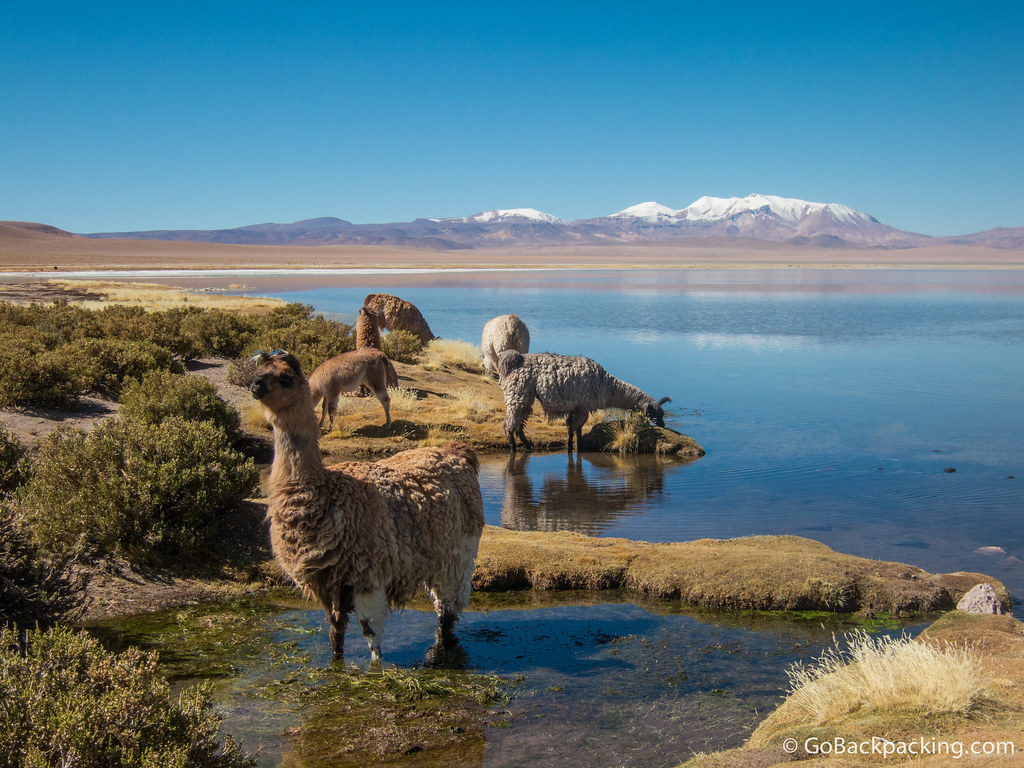 It's amazing llamas, flamingos, or any animal can live in a desert environment 4,000 meters above sea level.