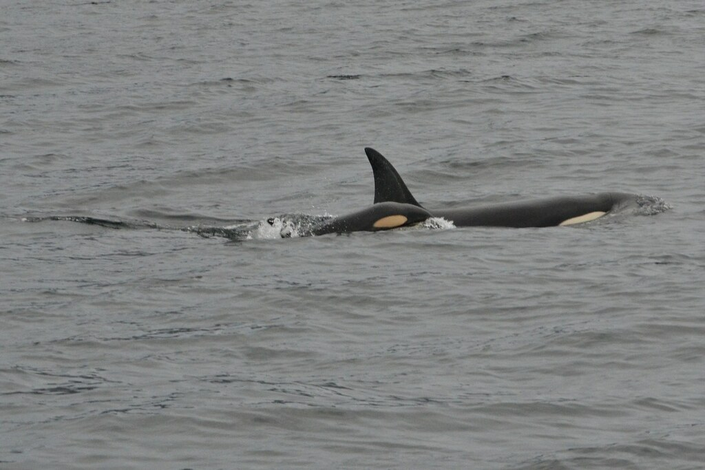 swim with orcas in norway