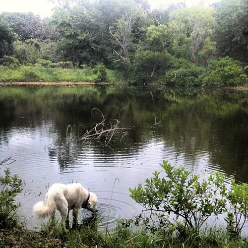 Shiloh getting a little early morning drink at the pond