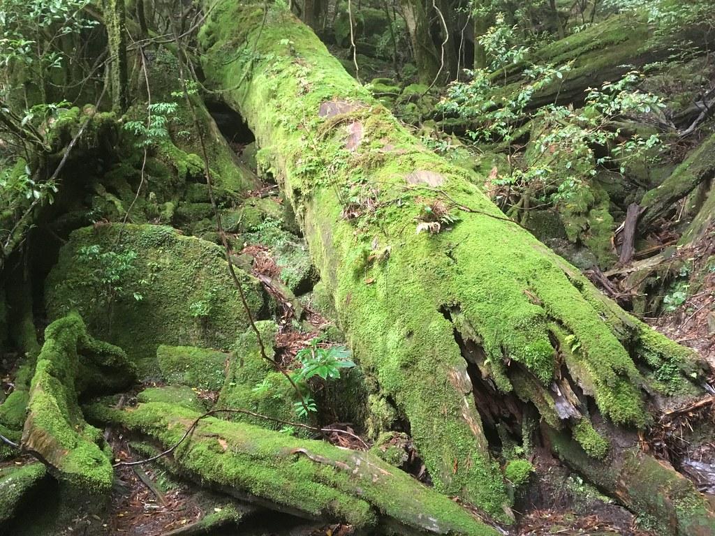 道中にある苔に包まれた倒木