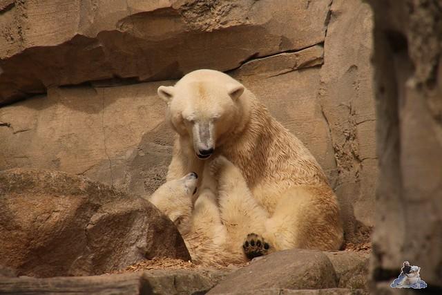 Eisbär Lili im Zoo am Meer Bremerhaven 14.05.2016 Teil 1 080