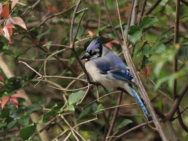 Blue Jay 20120318