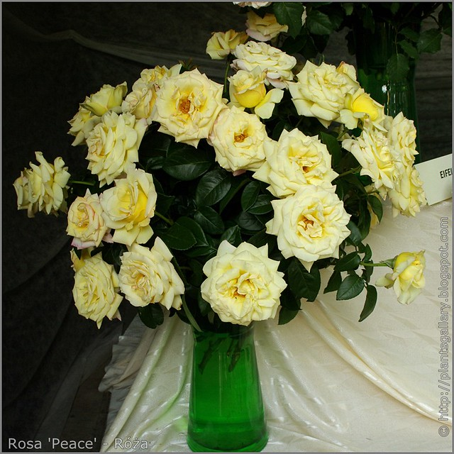 Rosa 'Peace' - Róża 'Peace'