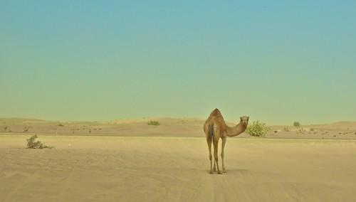 [フリー画像素材] 動物 1, 哺乳類, 砂漠, ラクダ ID:201204221000