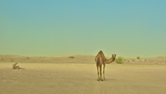 [Free Images] Animals 1, Mammals, Desert, Camels ID:201204221000