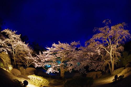 桜2012 河口湖畔