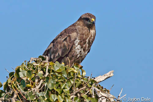Buzzard (Nr Pinged/Kidwelly)