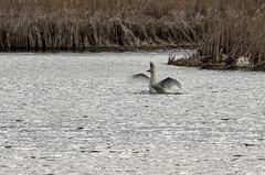 Swans Doing It-3478.jpg by Mully410 * Images
