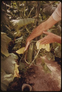 Closeup view of cucumbers inside one of the solar greenhouses at the University of Arizona Environmental Research Laboratory..., 04/1974.